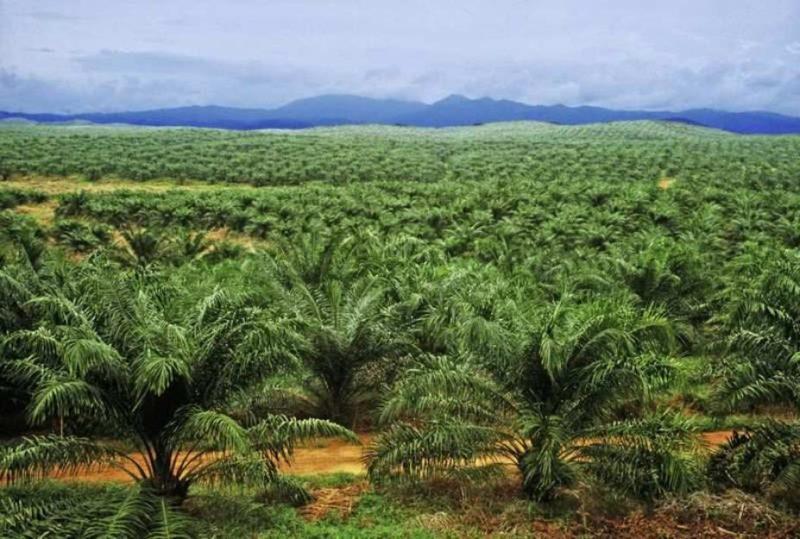 Industri Minyak Sawit Penyebab Deforestasi, Dampaknya?