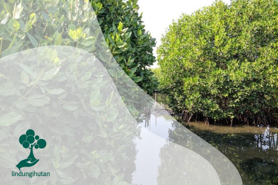 Dua Kegiatan yang Perlu Dilakukan Sebelum Menanam Mangrove