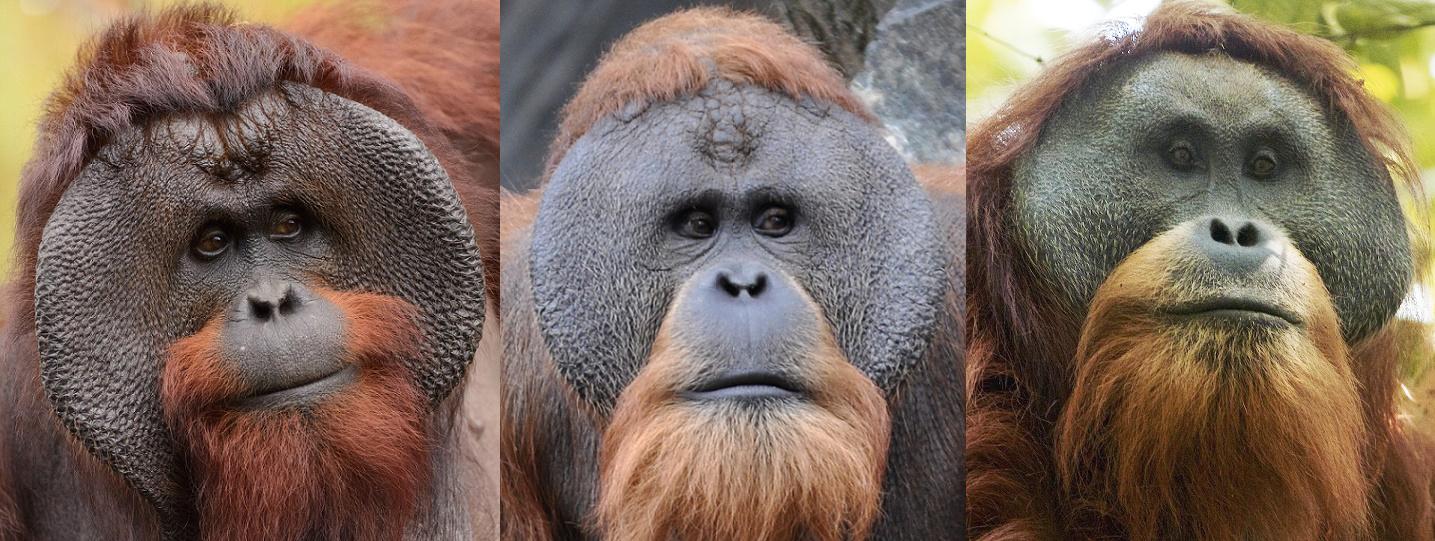 Orang utan Kalimantan-Sumatera-Tapanuli