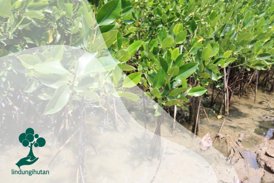 Mengenal Rhizophora, Sang Mangrove Primadona