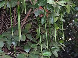 Rhizophora Mucronata
