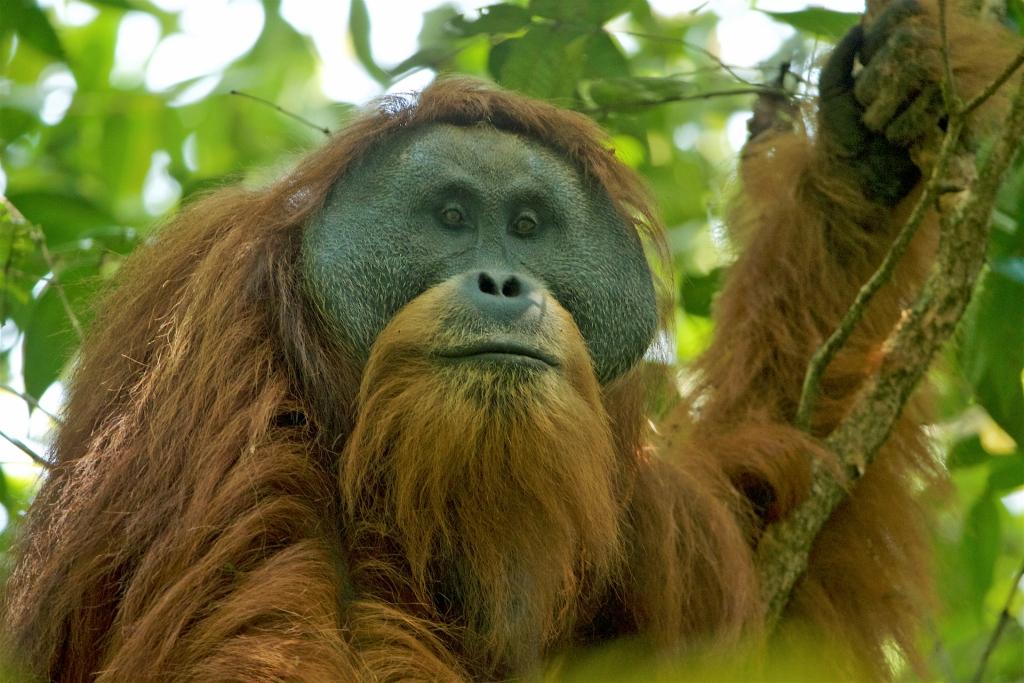Hewan Endemik yang Harus Dilestarikan,Orangutan
