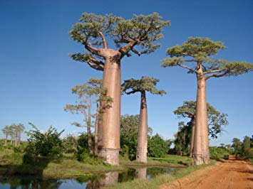 tumbuhan langka Adansonia sp.