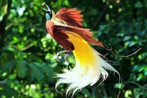 Upaya Penyelamatan Burung Cendrawasih