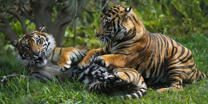 Harimau Indonesia, Harimau Sumatera
