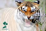 Harimau yang Terancam Jadi Legenda di Indonesia
