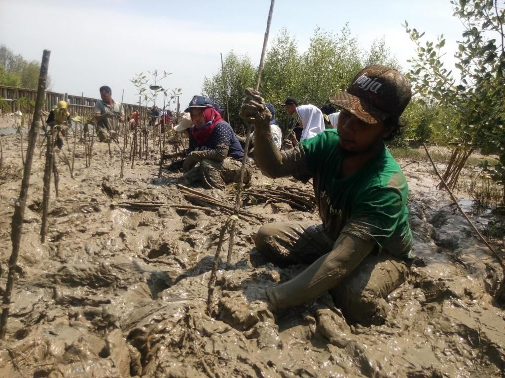 Mangrove Mengembalikan Daratan Trimulyo
