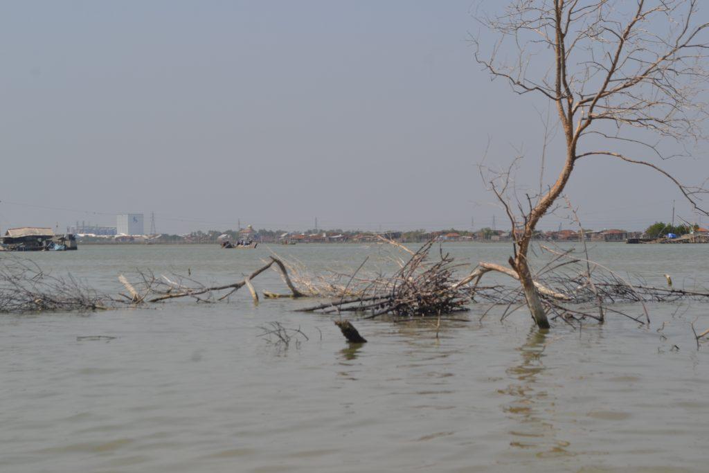 Pohon mati dan layu akibat pengikisan tanah yang disebabkan oleh abrasi di Demak
