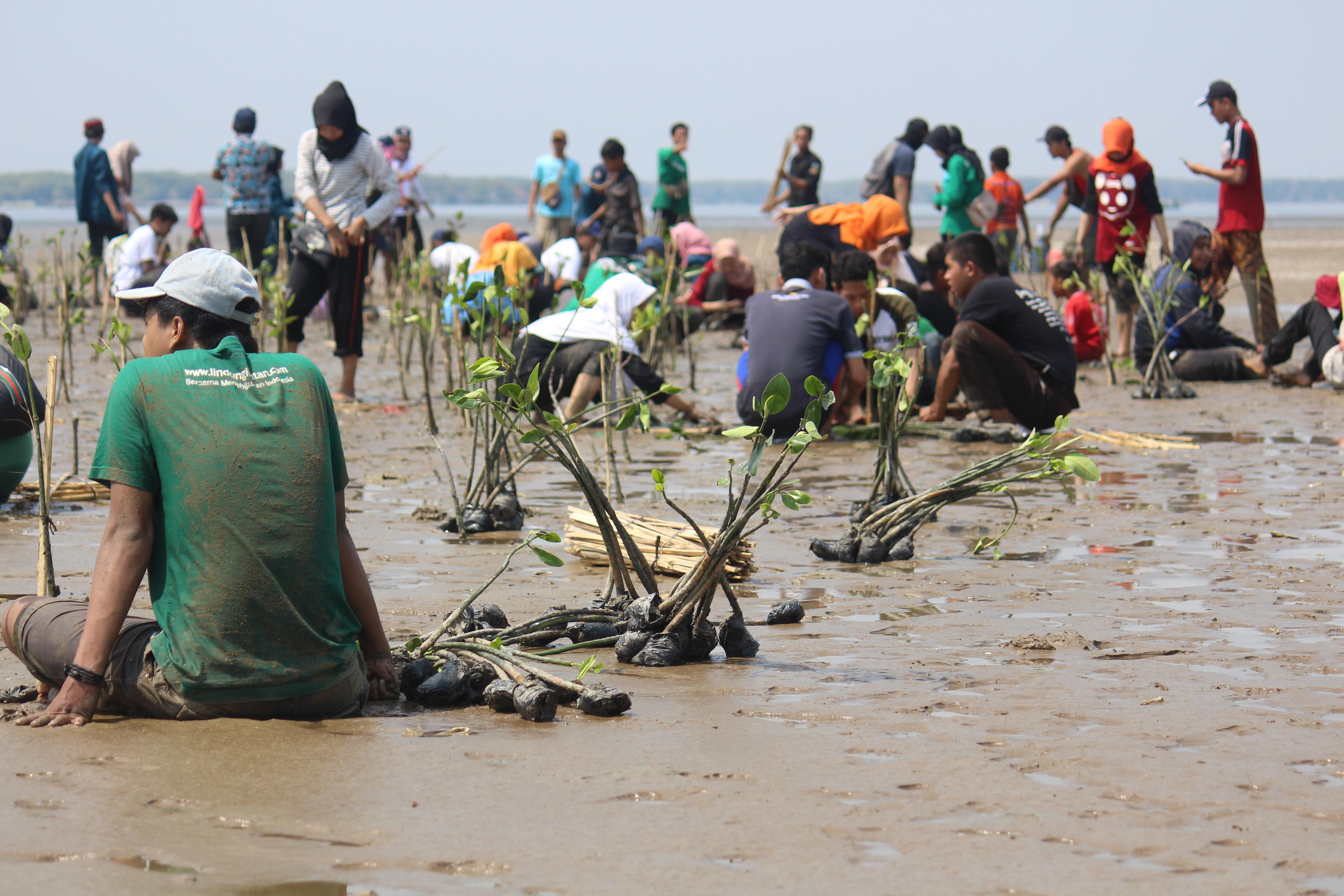 Antusiasme relawan menanam pohon mangrove