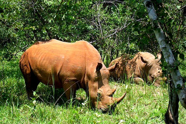 Badak bercula satu merupakan salah satu hewan endemik di taman nasional pulau Jawa, TN Ujung Kulon.
