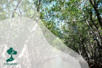 Tips Menanam Mangrove Agar Tumbuh Optimal