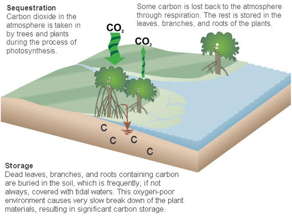 Peran Mangrove dalam Emisi Karbon