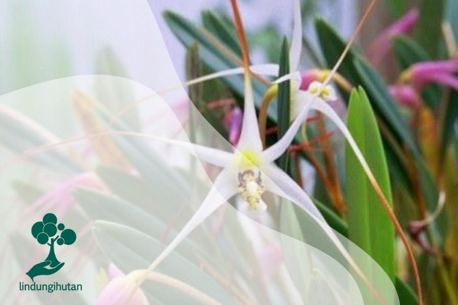 Anggrek Serat: Flora Asli Sulawesi yang Bernilai Tinggi