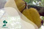 Tanami : Durian, Budidaya si Bau Namun Lezat