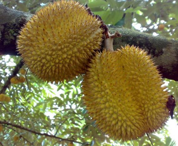 Budidaya Durian: proses Penanaman, Perawatan dan Panen