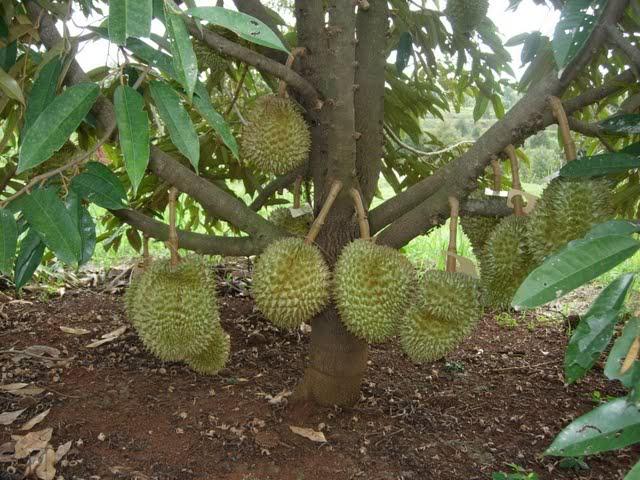 Durian Masak Pohon