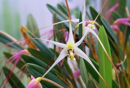 Gambar Anggrek Serat Salah Satu Flora Asli Indonesia