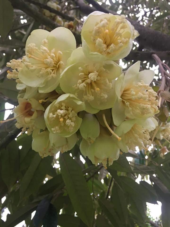 Perawatan Pohon Durian