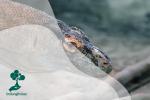 Mengenal Lebih Dekat Komodo, Kadal Purba Raksasa Penghuni Pulau Komodo