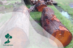 Tanami : Cara Menanam Pohon Mahoni