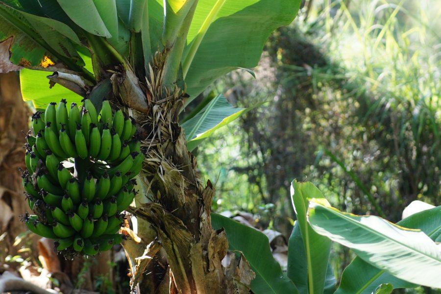 Pohon Pisang, Pohon khas Negara Tropis