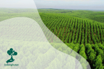 Apa itu Hutan Tanaman Industri?