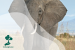 Peran Gajah dalam Menjaga Keseimbangan Ekosistem