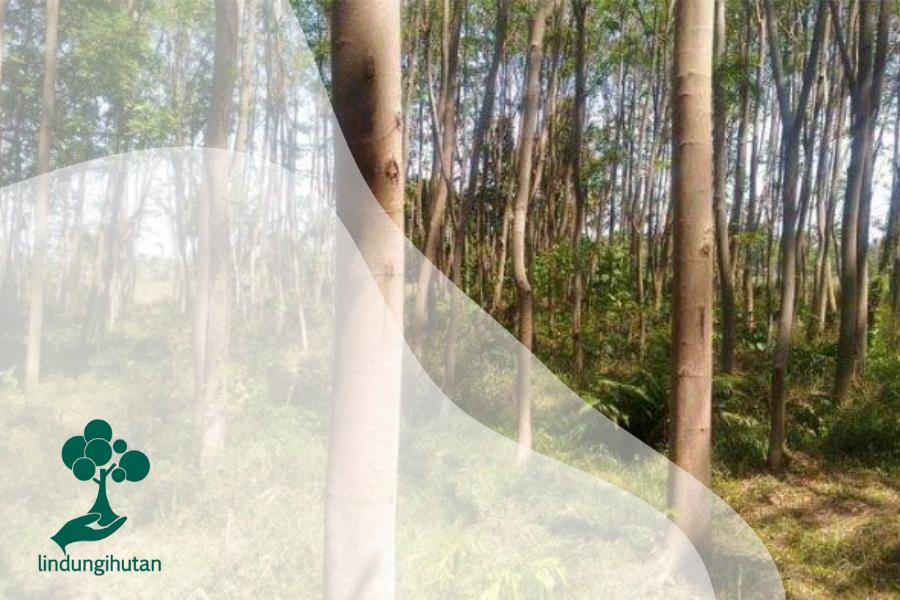 Sekilas Pandang Pohon Sengon