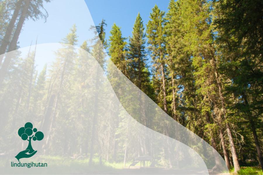 Tanami: Budidaya Pinus dan Berbagai Macam Manfaatnya