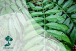 Tanami: Budidaya Sungkai, Tanaman Obat Herbal