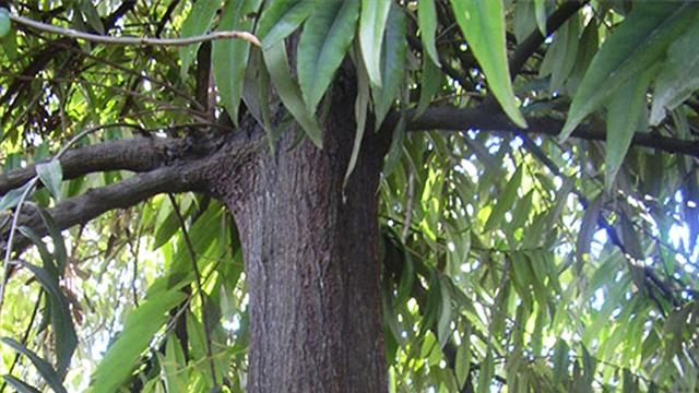 Batang Pohon Eboni