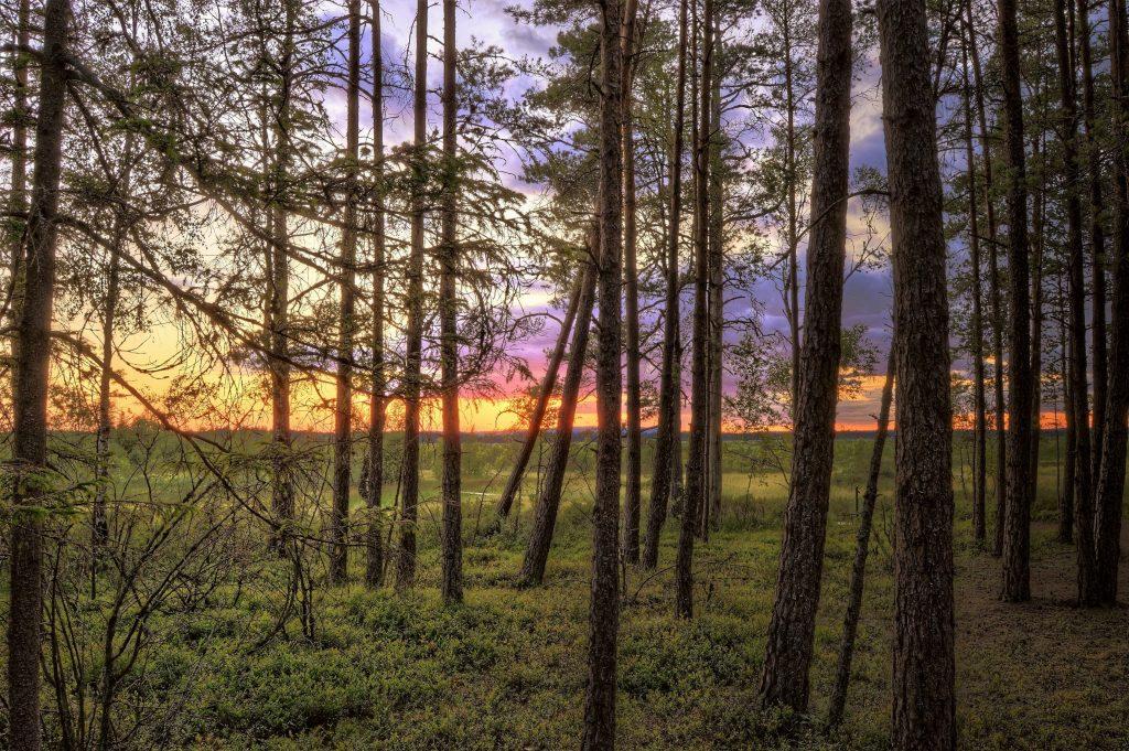 Morfologi Pohon Pinus. Sumber Pexels - @grizzlybear