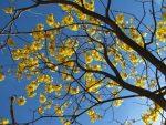Pohon Tabebuya Pohon yang mirip bunga Sakura