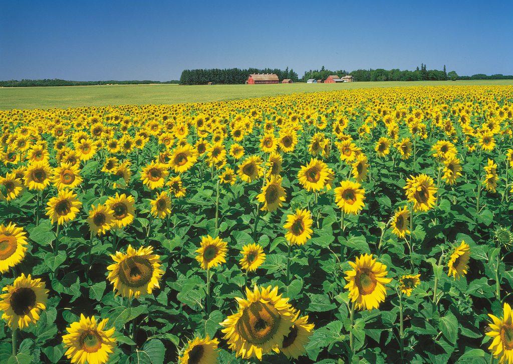 Bunga Matahari: tanaman fitoremediasi