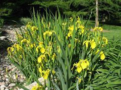 Iris untuk Polusi Air