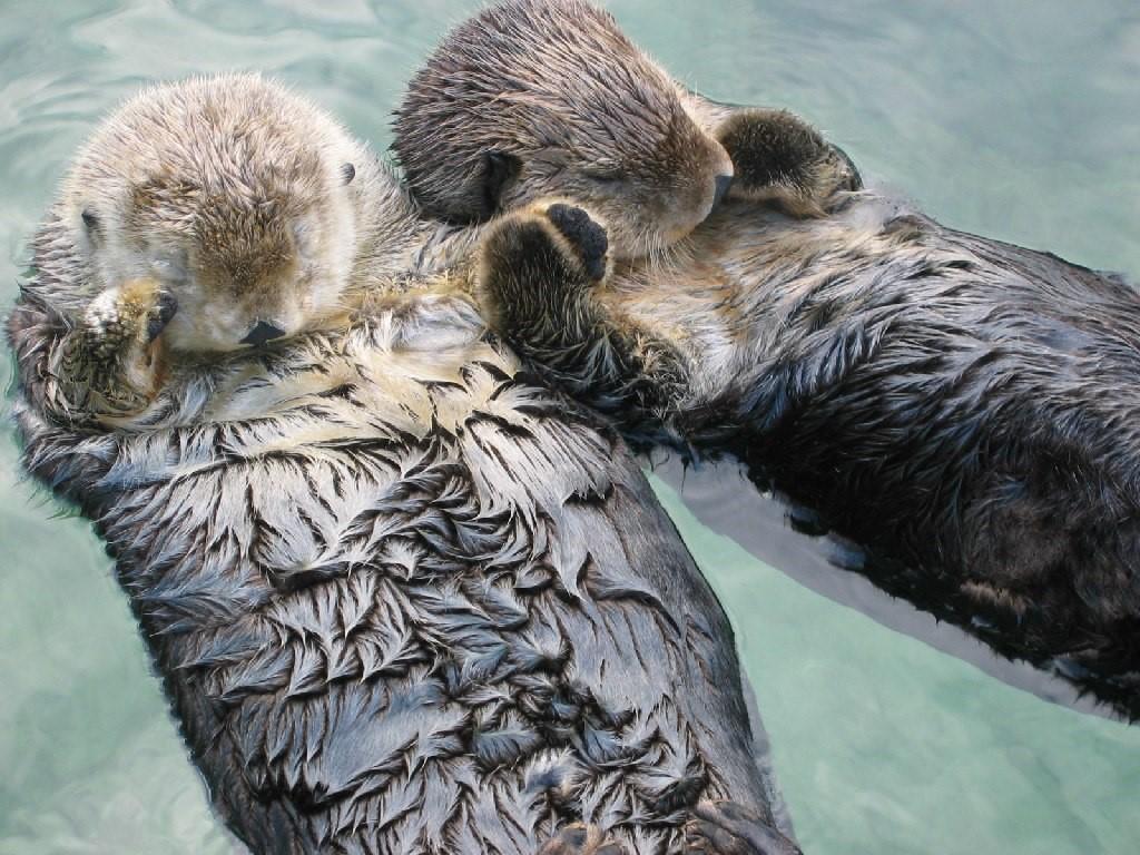Berang-berang yang mengambang dan saling berpegangan tangan ketika sedang tertidur. Sumber: https://upload.wikimedia.org/wikipedia/commons/7/79/Sea_otters_holding_hands.jpg