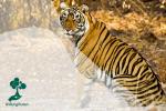 Manfaat Apex Predator Bagi Lingkungan di Sekitarnya