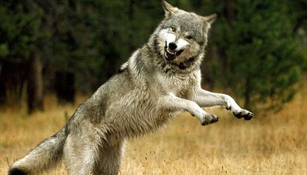 Ilustrasi Serigala, Manfaat Apex Predator
