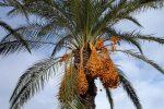 Pohon Kurma: Pengertian dan Manfaat