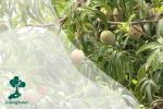 Sekilas Pandang Pohon Mangga