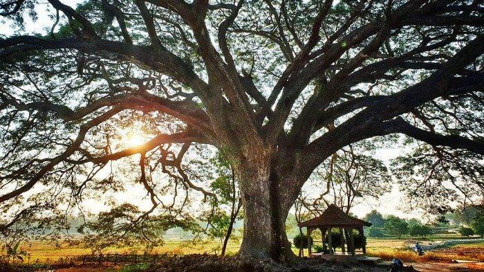 Pohon Trembesi 2