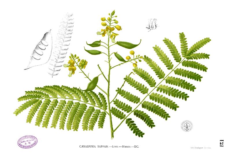 Gambar 2. Anatomi daun, bunga dan buah Caesalpinia sappan L. (Foto: Blanco)
