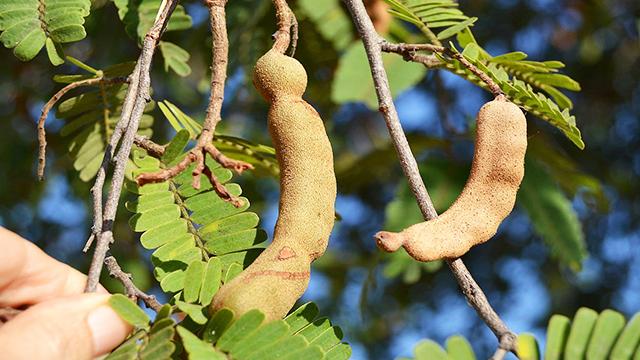 Tamarindus-indica-by wikimedia commons