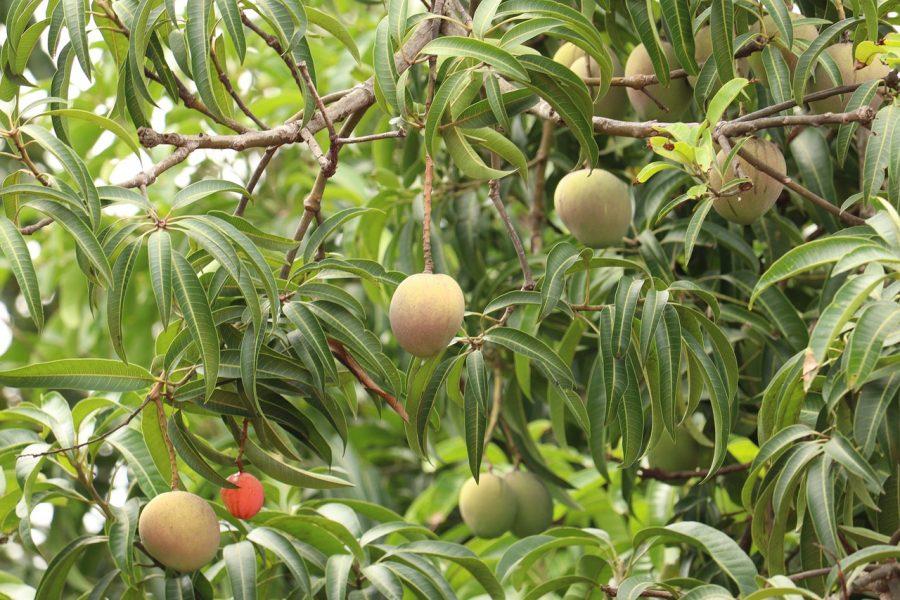 Pohon Mangga: Fakta, dan bagaimana menanamnya