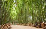 Tanaman Bambu : Fakta dan Manfaat