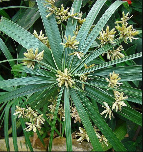 Gambar 4.Bintang Air. Sumber: https://s3.amazonaws.com/eit-planttoolbox-prod/media/images/Cyperus-alternifolius--Dick-Culbert--CC-BY.jpg