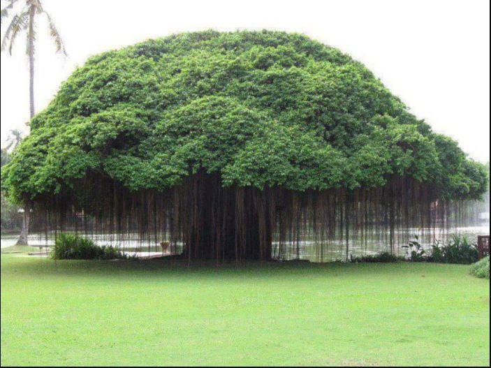 Gambar 5.Beringin. Sumber: https://d2ih5qgee2kfcl.cloudfront.net/content/2020/10/19/jzsQXJo/pohon-beringin-identik-dengan-mistis-itu-adalah-mitos68_700.jpg