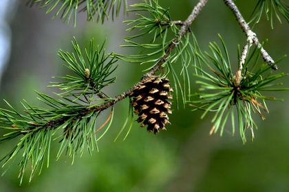 Gambar 3. Coniferophyta. Sumber: https://www.pkilab.org/wp/blog-post/is-conifer-evolution-slow-or-fast-or-both/