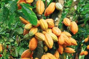 Gambar 3. Kakao, Sumber: Kementerian PPN/Bappenas
