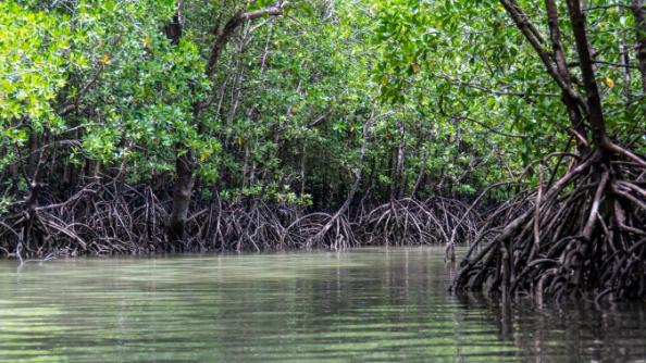 Gambar. Hutan bakau dapat mereduksi emisi karbon secara efektif. Sumber pixabay.com/Kmarius